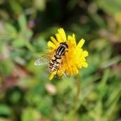181017 hoverflies (1)