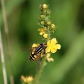 181017 hoverflies (2)