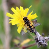 181017 hoverflies (3)