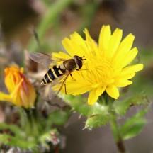 181017 hoverflies (4)