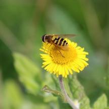 181017 hoverflies (5)