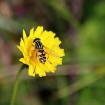 181017 hoverflies (6)