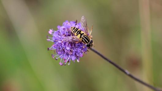 181017 hoverflies (7)