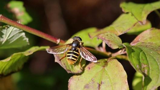 181017 hoverflies (8)