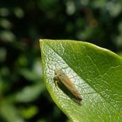 181020 Graphocephala fennahi (2)