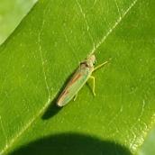 181020 Graphocephala fennahi (3)