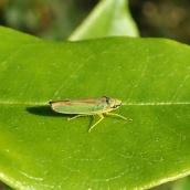 181020 Graphocephala fennahi (4)