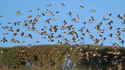 181023 Sparrowhawk hunting (1)