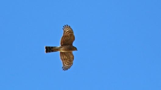 181023 Sparrowhawk hunting (2)