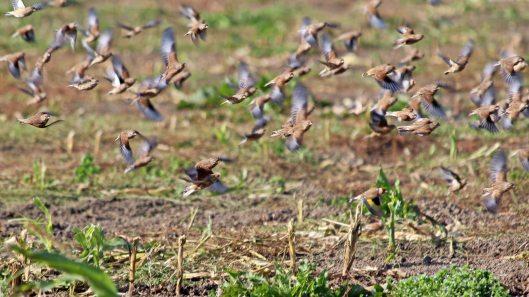 181023 Sparrowhawk hunting (4)
