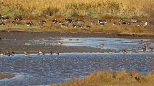 181031 birding Lodmoor (1)