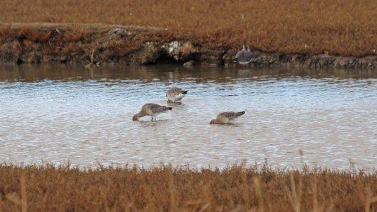 181031 birding Lodmoor (2)
