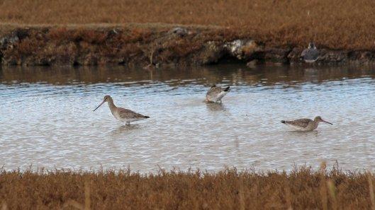 181031 birding Lodmoor (3)