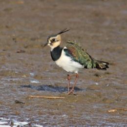 181031 birding Lodmoor (6)