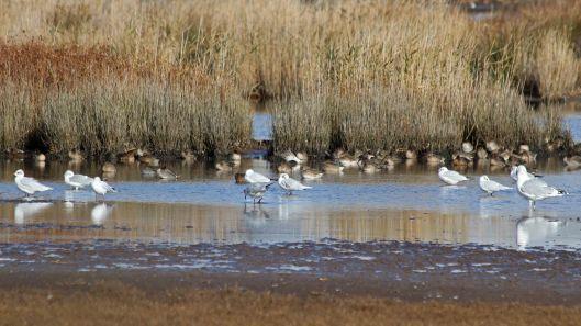 181031 birding Lodmoor (8)