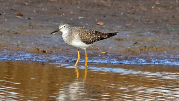 202 lesser yellowlegs