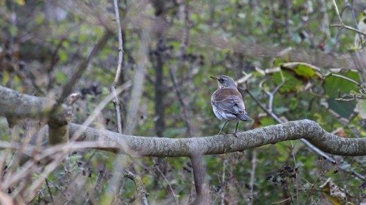 181101 birding Portland (10)