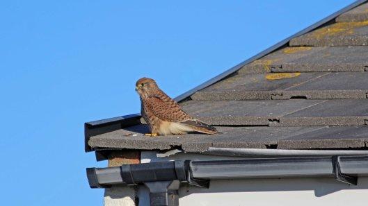 181101 birding Portland (6)