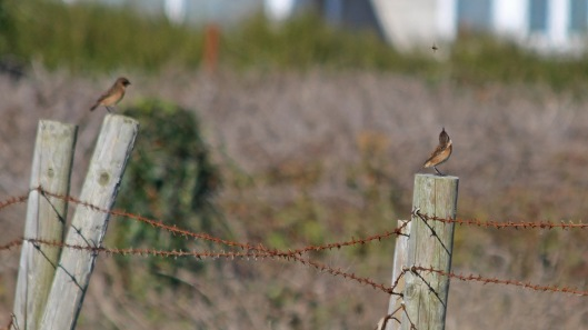 181101 birding Portland (8)