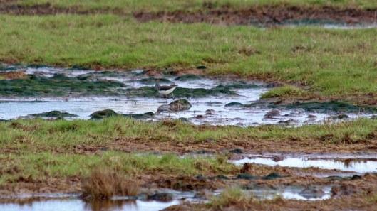 181102 (2) Green sandpiper