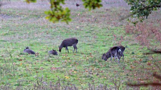 181103 roe deer (1)
