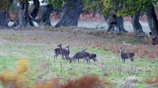 181103 roe deer (2)