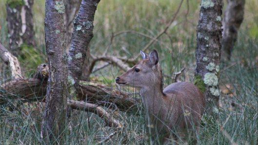 181103 sika deer (1)