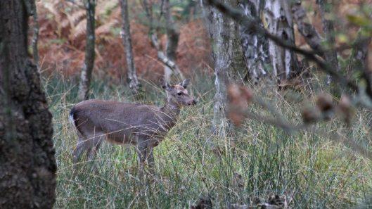181103 sika deer (2)