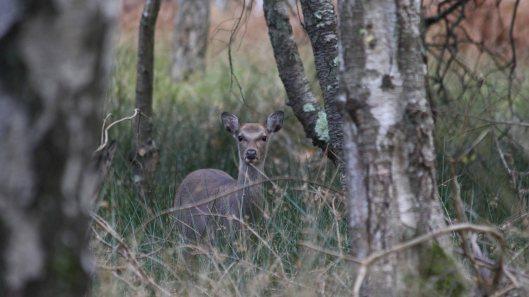 181103 sika deer (3)