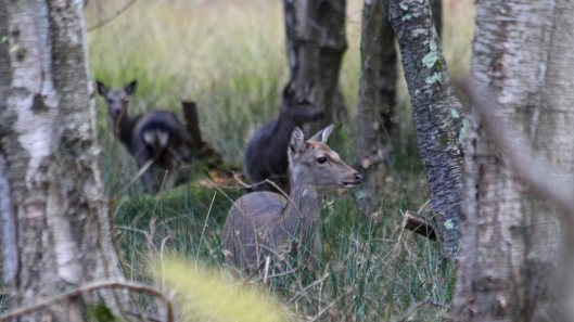 181103 sika deer (4)
