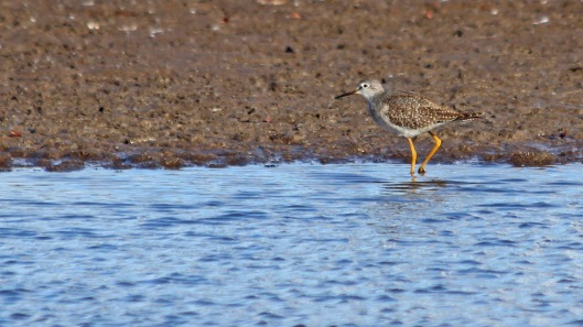 181104 lesser yellowlegs (1)