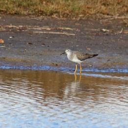 181104 lesser yellowlegs (2)