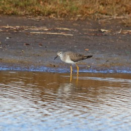 181104 lesser yellowlegs (3)