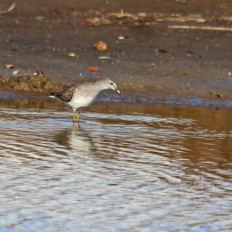 181104 lesser yellowlegs (4)