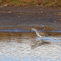 181104 lesser yellowlegs (5)