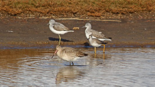 181104 lesser yellowlegs (6)