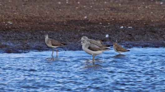 181104 lesser yellowlegs (7)