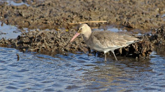 181106 black-tailed godwit (1)