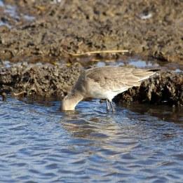 181106 black-tailed godwit (4)