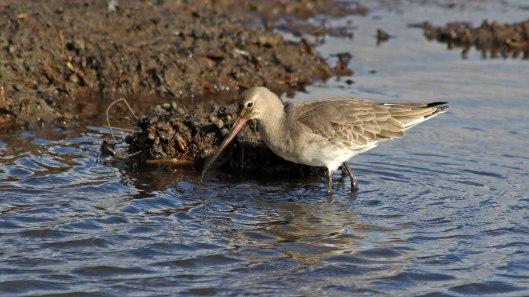 181106 black-tailed godwit (6)