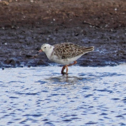 181108 white-headed ruff (1)