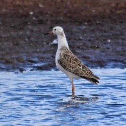 181108 white-headed ruff (2)