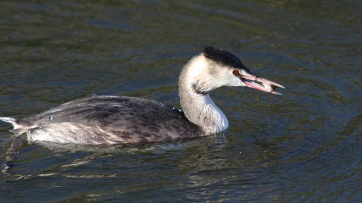181112 great crested grebe (5)