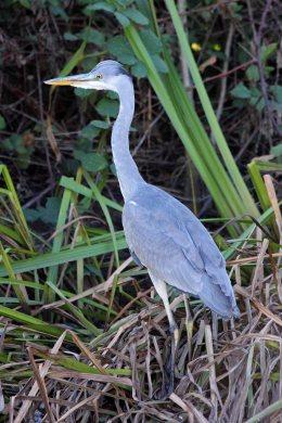 181113 grey heron (1)