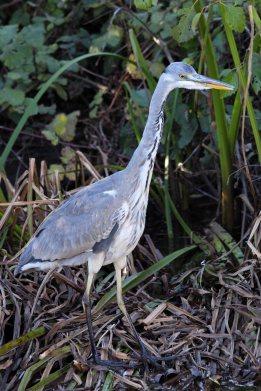 181113 grey heron (2)