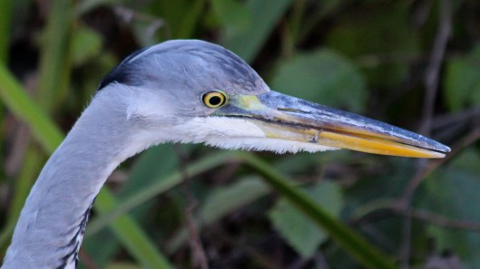 181113 grey heron (3)