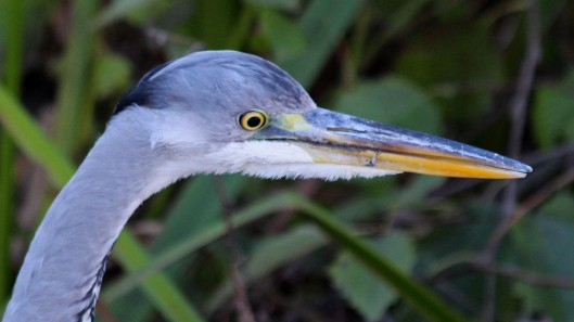 181113 grey heron (4)