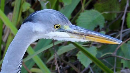 181113 grey heron (5)