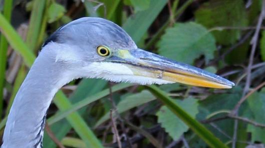 181113 grey heron (6)