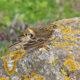 181117 meadow pipit (1)